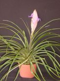 TILLANDSIA ANCEPS G Loddiges